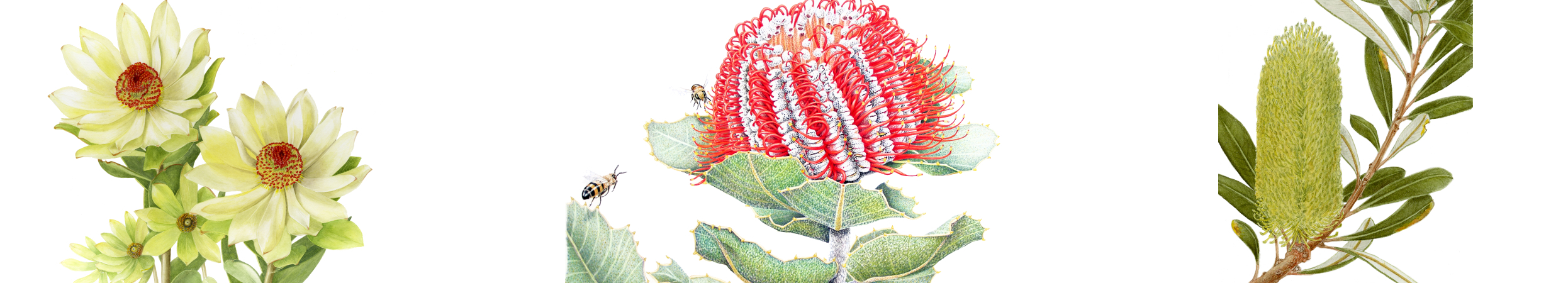 Artwork from left to right: Sue Stuart - Leucadendron, Janet Matthews - Banksia coccinea, Leonie Norton - Banksia integrifolia